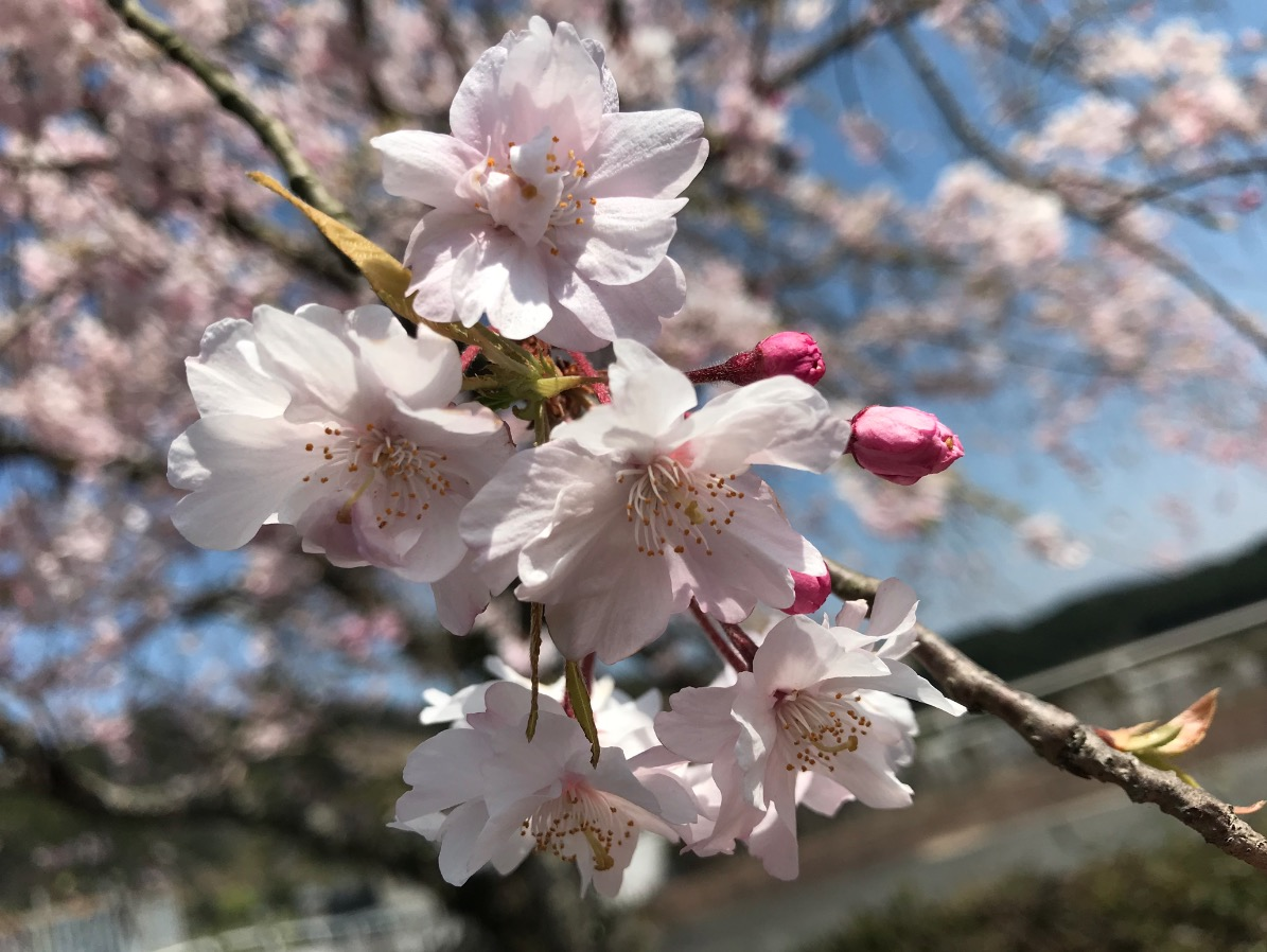 山神ダムの桜