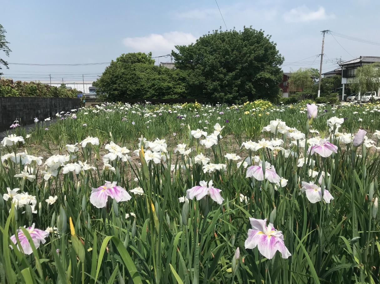 椛島菖蒲園(柳川市)