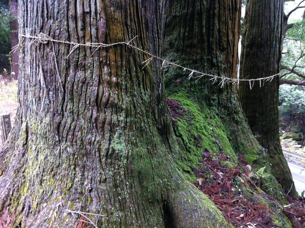 社を失った神木:小川内の杉(山祇神社跡)