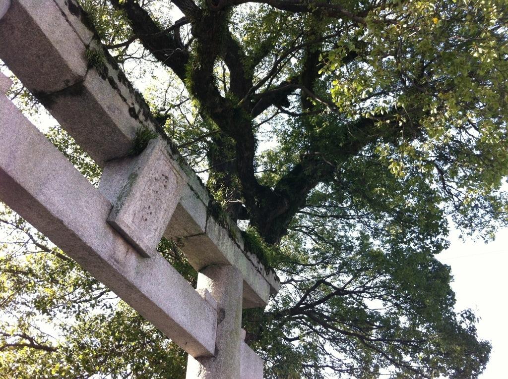 樟の光のまとい方:平野神社・1