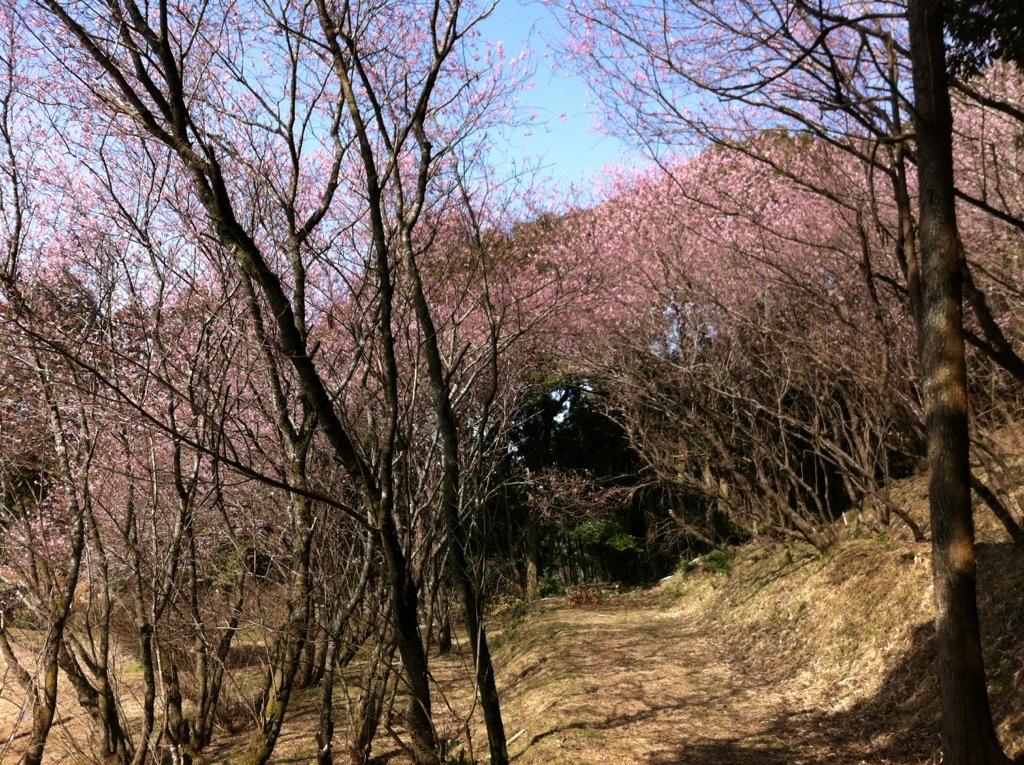 初御代桜(ハツミヨザクラ)〜那珂川市