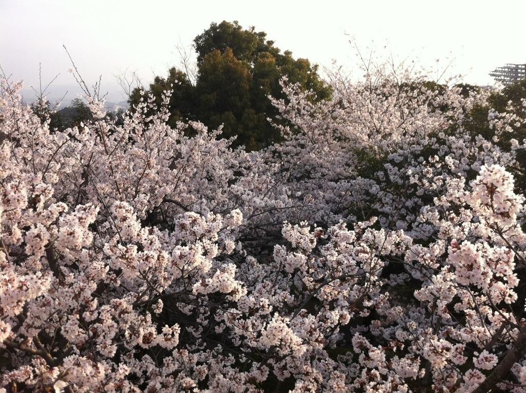 東平尾公園・丸尾展望台(博多)の桜