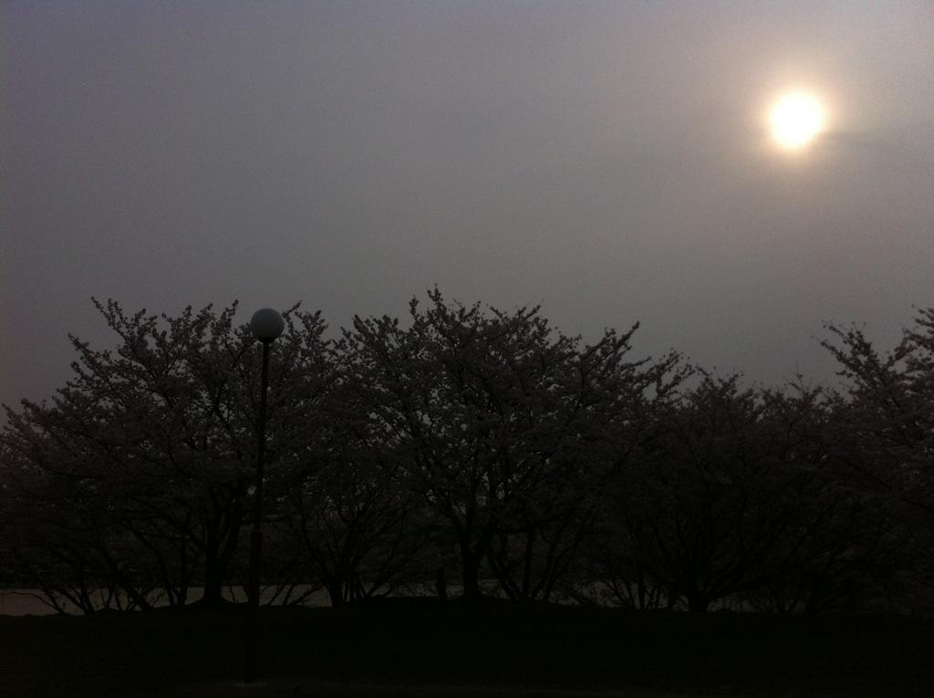 桜霞に囲まれて:安徳公園