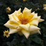 駕与丁公園のバラ