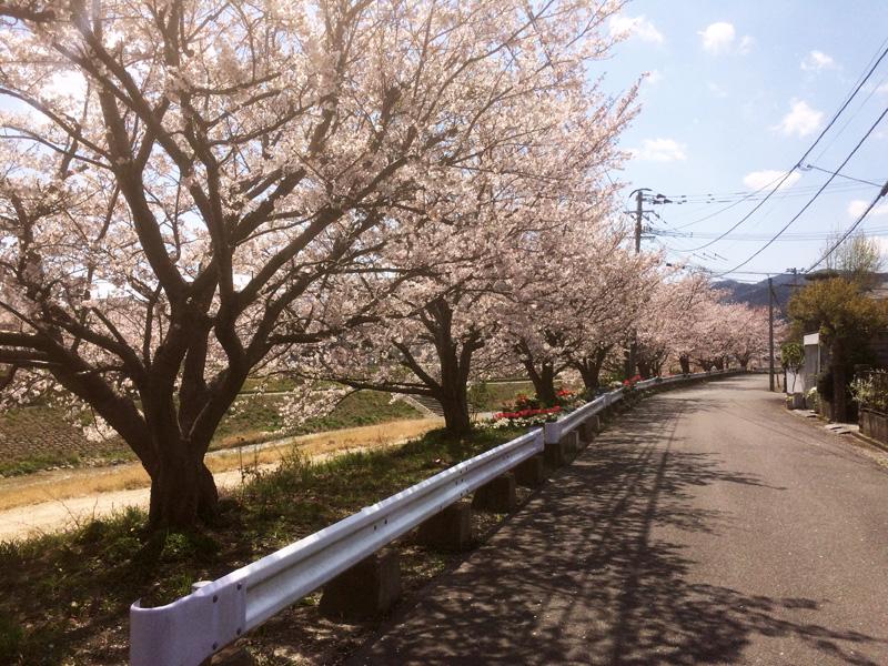 天徳橋付近の桜並木(那珂川市の桜・穴場スポット)