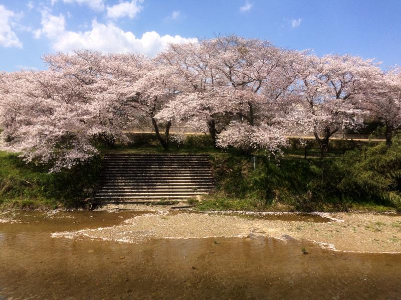 那珂川市の桜の穴場(とどろき橋河畔の桜)