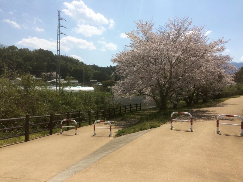 那珂川市の桜の穴場(とどろき橋河畔の桜)の駐車場