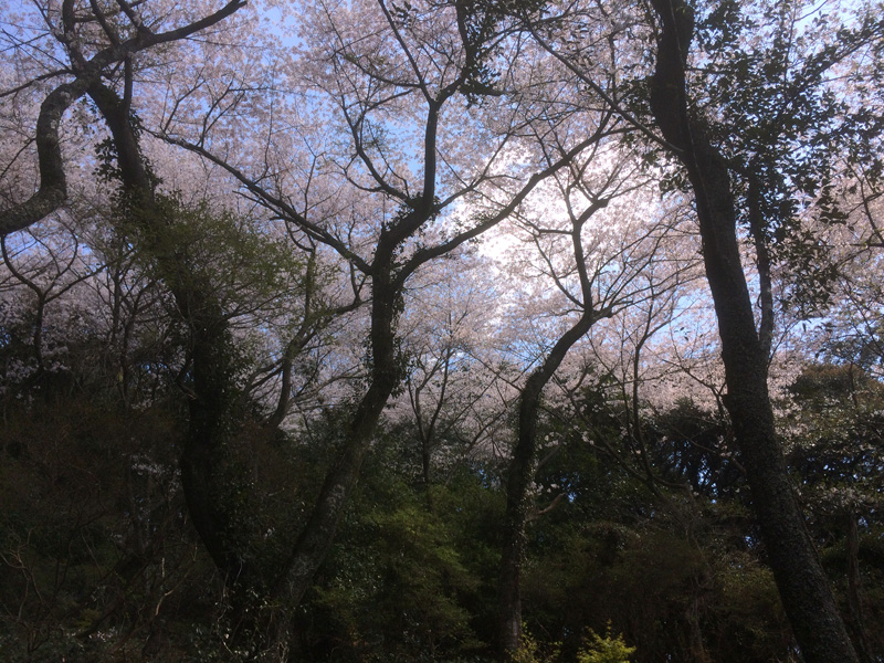 高津神社(那珂川市の桜)
