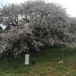 平戸の慈眼桜が満開♪見所とライトアップ日程・行き方・駐車場などシェア