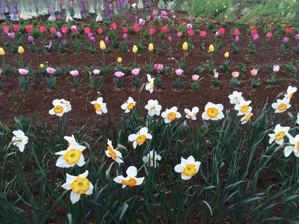 慈眼桜の近くの花壇