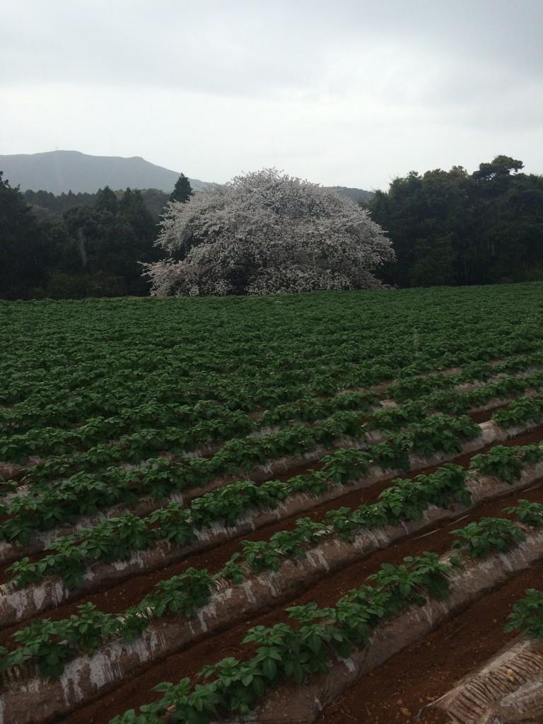 慈眼桜(長崎・平戸)