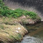 梶原川のカワセミ