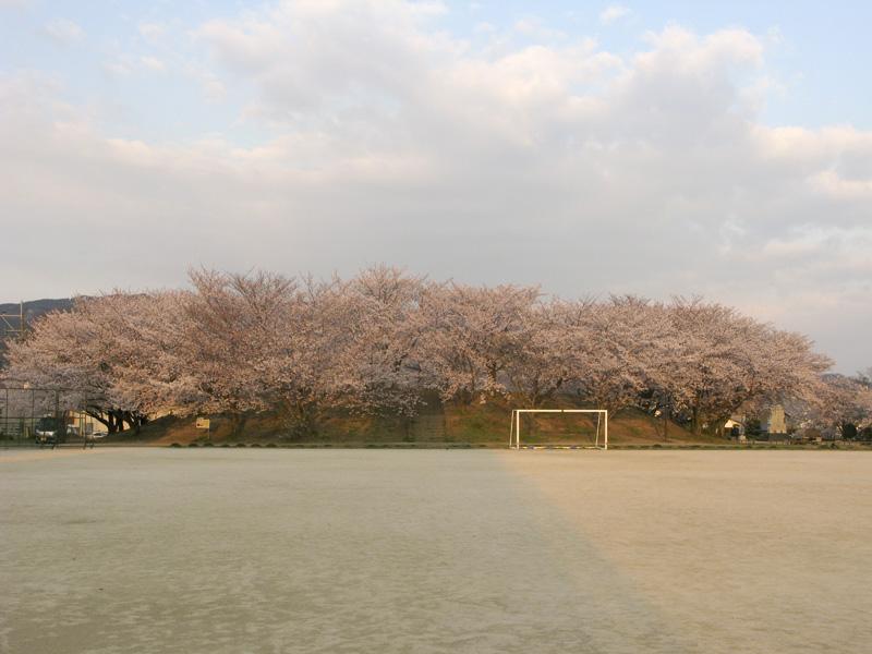 安徳公園(那珂川市)の桜