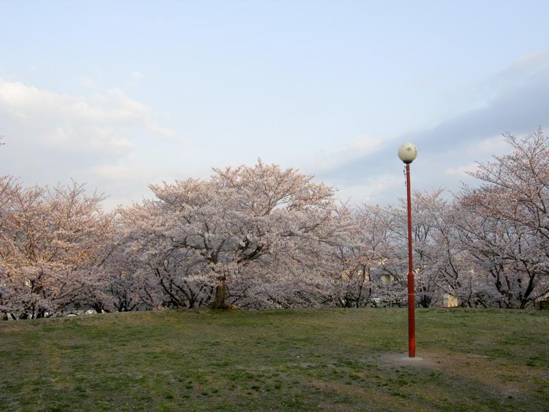 安徳公園(那珂川市)の桜の広場